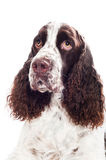 Springer spaniel dog Royalty Free Stock Photography