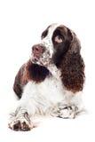 Springer spaniel dog. Brown and white springer spaniel dog Stock Images