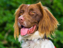 Springer Spaniel Dog Stock Image
