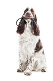 Springer spaniel dog holding a leash in its mouth Royalty Free Stock Image