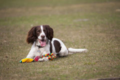 Springer spaniel dog playing Royalty Free Stock Images