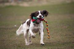 Springer spaniel dog playing Royalty Free Stock Photo