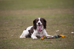 Springer spaniel dog playing Royalty Free Stock Images