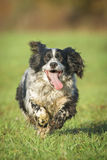 Springer Spaniel Dog Stock Photo