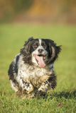 Springer Spaniel Dog Royalty Free Stock Image