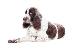 Springer spaniel dog portrait Royalty Free Stock Photography