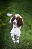 Springer spaniel dog resting in the grass with his tongue hangin Stock Photos
