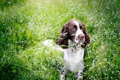 Springer spaniel dog resting in the grass with his tongue hangin Stock Image