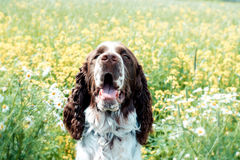 Springer spaniel dog resting in the grass with his tongue hangin Stock Photography