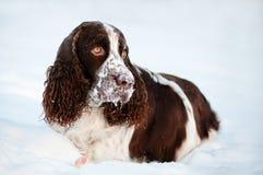 Springer spaniel dog resting in snow Royalty Free Stock Image
