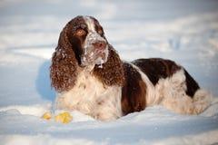 Springer spaniel dog resting in snow stock image
