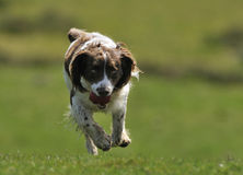 Springer Spaniel Dog Running Stock Photography