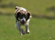 Springer Spaniel Dog Running Stock Photography