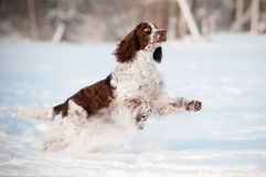Springer spaniel dog running and jumping in the snow Stock Photography