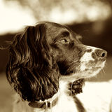 Springer Spaniel Dog Sepia Square Royalty Free Stock Images
