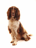 Springer Spaniel dog sitting down Stock Photography