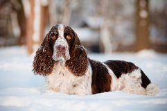 Springer spaniel dog in the snow Stock Image