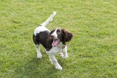 Springer Spaniel. The English Springer Spaniel Shi Binge is also called the English springer spaniel, and the British Shi Binge Terrier is a medium-sized stock photography
