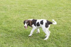 Springer Spaniel. The English Springer Spaniel Shi Binge is also called the English springer spaniel, and the British Shi Binge Terrier is a medium-sized stock photo