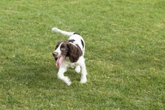 Springer Spaniel. The English Springer Spaniel Shi Binge is also called the English springer spaniel, and the British Shi Binge Terrier is a medium-sized royalty free stock photos