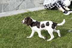 Springer Spaniel. The English Springer Spaniel Shi Binge is also called the English springer spaniel, and the British Shi Binge Terrier is a medium-sized royalty free stock photography