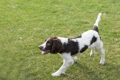 Springer Spaniel. The English Springer Spaniel Shi Binge is also called the English springer spaniel, and the British Shi Binge Terrier is a medium-sized royalty free stock photo