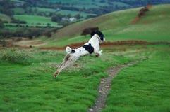 Springer Spaniel in Full Flight. Springer spaniel leaping through the air in full flight in the countryside Stock Images