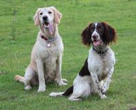 A springer spaniel and golden retreiver pet gundogs friends together Royalty Free Stock Photography