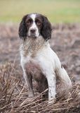 Springer Spaniel Gundog Stock Photography