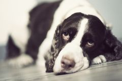 Springer Spaniel Royalty Free Stock Images