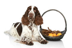 Springer Spaniel lies with basket of fruit Stock Images