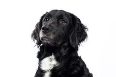 Springer spaniel Mudi dog Isolated on White. Cross Breed dog of Springer spaniel and Mudi isolated on white background Royalty Free Stock Image
