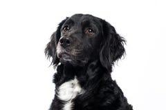Springer spaniel Mudi dog Isolated on White Royalty Free Stock Image