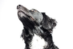 Springer spaniel Mudi Stock Photo