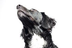 Springer spaniel Mudi dog Isolated on White Stock Photo