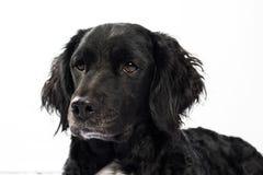 Springer spaniel Mudi dog Isolated on White Stock Photos