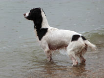 Springer spaniel. Playing in the sea on a rainy day Royalty Free Stock Images