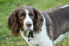 Springer spaniel dog portrait Stock Photo
