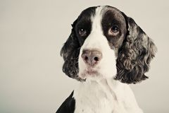 Springer Spaniel Portrait Royalty Free Stock Photos
