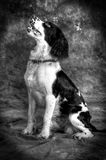 Springer Spaniel. A portrait of a springer spaniel pet dog in a studio setting Stock Image