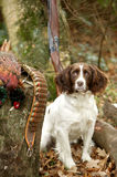 Springer Spaniel Portrait in Woodland. Royalty Free Stock Images