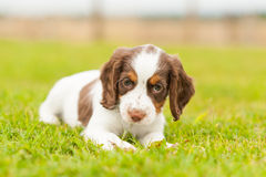 Springer Spaniel Pup Stock Photos