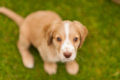 Springer Spaniel Pup Royalty Free Stock Photography