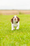 Springer Spaniel Pup Stock Photo