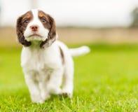 Springer Spaniel Pup Stock Image