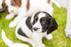 Springer Spaniel Pup Stock Images