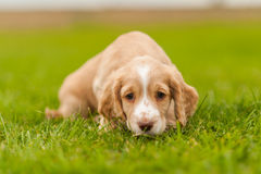 Springer Spaniel Pup Royalty Free Stock Photo