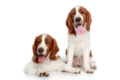Springer spaniel puppies Royalty Free Stock Images