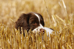 Springer Spaniel Puppy. Playing in a stubble field. you can't see me royalty free stock photo
