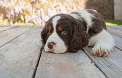 Springer spaniel puppy dog lays down on wood deck Stock Photography